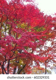 Red  japanese maple leaves in autumn.