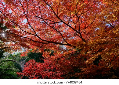 Red japanese maple leaves background