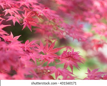 red japanese maple leaves on soft blurred green background