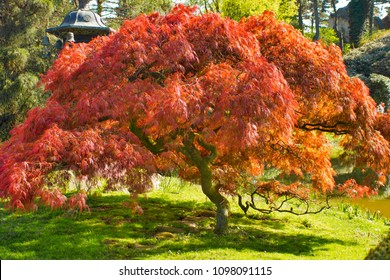 A red Japanese maple tree in a garden