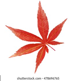 Red japanese maple tree leaf (Acer palmatum) isolated on white background