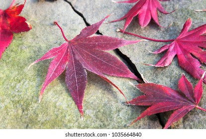 Red Japanese Maple tree leaves lying on rock in fall