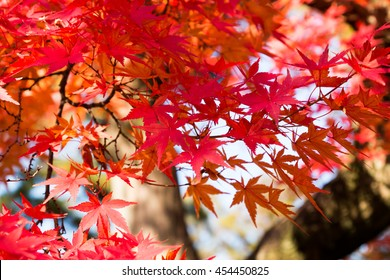 Red Japanese maple tree leaves on autumn