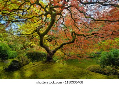 The red Japanese Maple tree at Portland Japanese Garden in spring