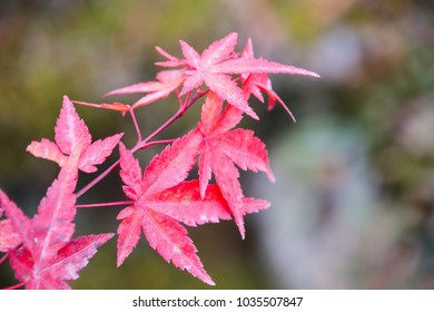 Red Japanese Maples leaves in Autumn season which is colorful season of trees and leaves in Japan.