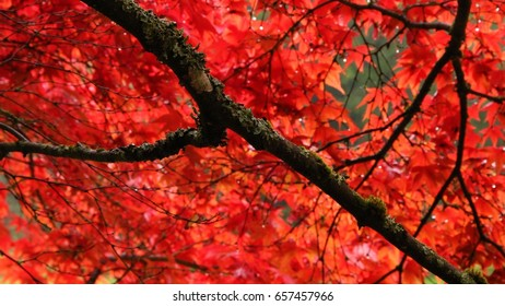 Red Japanese Maples leaves on an autumn day