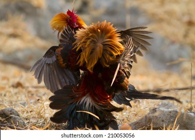 The Red jungle fowl fight in the forest in the evening.