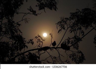 Red jungle fowl are sleeping on a tree under the moonlight.