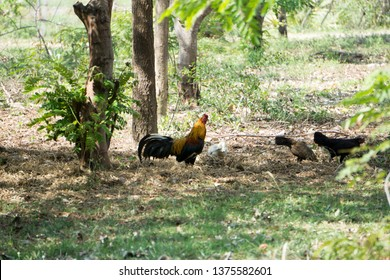 Red jungle fowl, The true nominate race of red junglefowl has a mix of feather colors, with orange, brown, red, gold, gray, white, olive and even metallic green plumage.