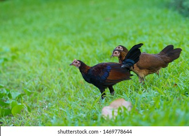 red junglefowl, chicken (Gallus gallus). Juvenile. Bird. Singapore.