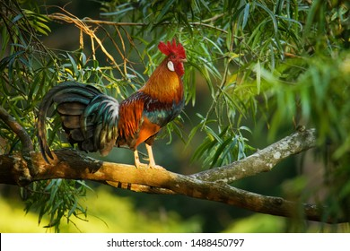 Red Junglefowl - Gallus gallus  tropical bird in the family Phasianidae. It is the primary progenitor of the domestic chicken (Gallus gallus domesticus).