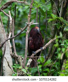 Red Kaka parrot curious