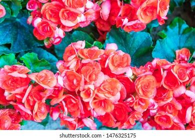 Red Kalanchoe blossfeldiana herbaceous flower in a pink flower