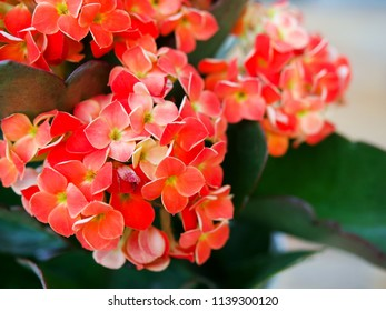 Red Kalanchoe, Cute and easy to care for, kalanchoe is a succulent with large green foliage and clusters of small flowers that bloom for many weeks indoors.