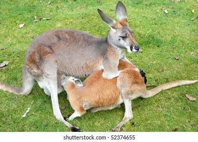Red Kangaroo Doe Feeding Her Joey