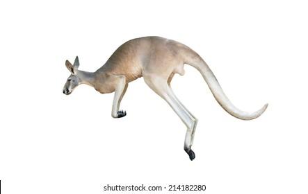 red kangaroo jumping isolated on white background