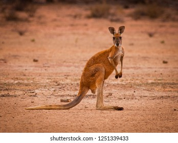 Red kangaroo (Macropus rufus) in the desert looking at camera. Largest of all kangaroos and largest terrestrial mammal native to Australia.