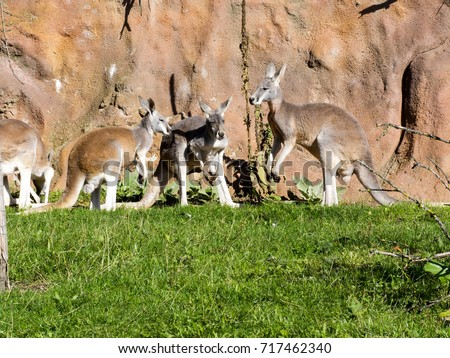 Red Kangaroo Megaleia Rufa Is One Of The Biggest Kangaroos