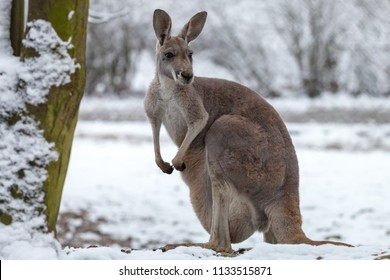 The red kangaroo on snow. Macropus rufus is the largest of all kangaroos, the largest terrestrial mammal native to Australia, and the largest extant marsupial. Winter, Olomouc Zoo, Czech Republic.