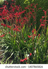 Red Kangaroo Paw plant with early blossoms