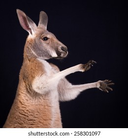 Red Kangaroo With Paws Up