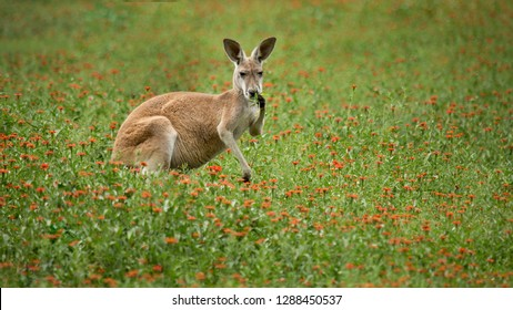 A red kangaroo picking greenery for a snack from a field of wildflowers