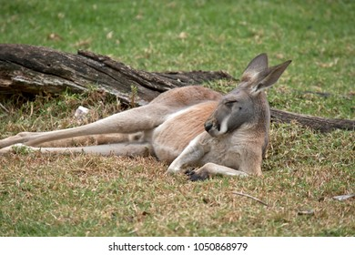 the red kangaroo is resting on the grass
