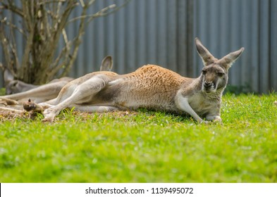 Red Kangaroo sits in green grass