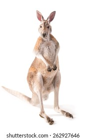Red kangaroo in studio isolated