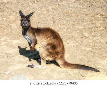 Red Kangaroo, vertical image of Australian marsupial Canguro Rosso