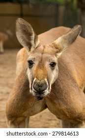 Red Kangaroo at Zoo Miami