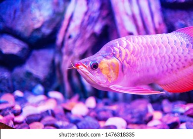 Red King Arowana Fish view in close up in an aquarium