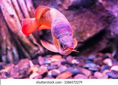 Red King Arowana Fish view in close up in an aquarium