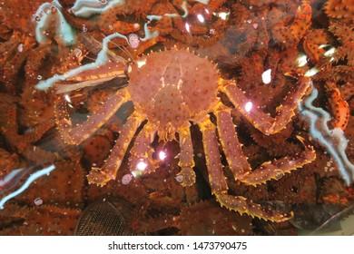 Red king crab  known as taraba Kani  in Japanese