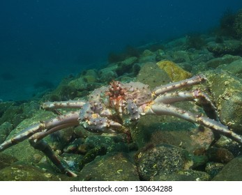 Red king crab over the stone boulders in the arctic ocean