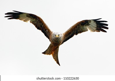 Red Kite, bird of prey in flight