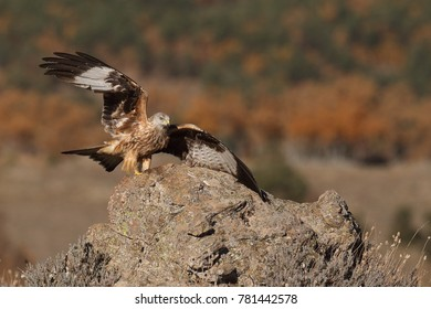Red kite - end of migration