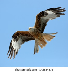 Red Kite in flight above the hills of Laurieston, Dumfrieshire, Scotland.