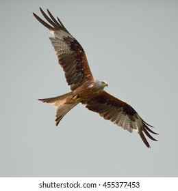 Red Kite in flight against a dull sky