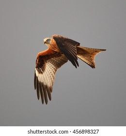 Red Kite in flight against a grey sky