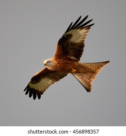 Red Kite in flight against a grey sky with it's tail wings fanned out