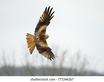 Red kite flying over the farmland fields in Oxfordshire, UK.