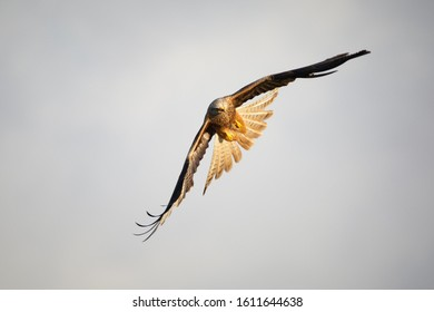 Red Kite flying in Wales.