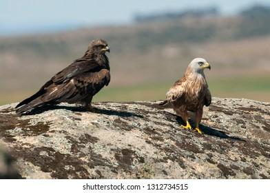 Red kite, Milvus milvus, Black Kite, Milvus migrans, standing on a rock