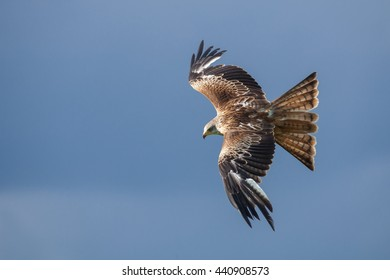 Red Kite Milvus milvus in flight