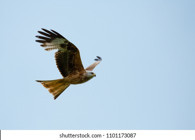 Red Kite (Milvus milvus) in flight on a warm summers day, Oxfordshire, UK