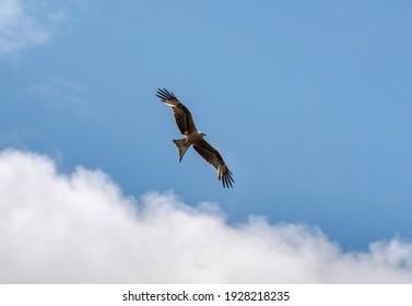 Roter Drachen, Milvus milvus, im Flugzeug. Dieser Drachen ist derzeit in der westpaläktischen Region in Europa und Nordwestafrika endemisch. Foto aufgenommen in Colmenar Viejo, Madrid, Spanien