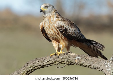 Red kite, (Milvus milvus) perched on a branch