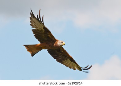 Red Kite (Milvus-Milvus) in flight