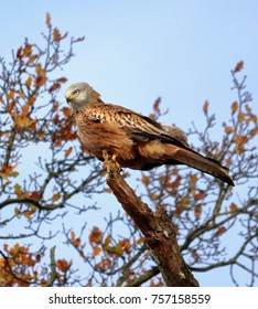 Red Kite perched high in a tree top